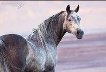 Horses - Smoke / Gray horses of all shades