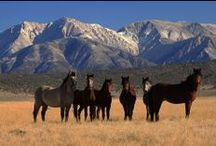 Horses - Group shots / Wild mustangs, domestic herds, and group horse portraits