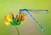 """mis libelulas ♥ / Es sin duda un animal que vaticina suerte, muy buena suerte a través del cambio, de la transformación...""""se puede haber vivido como larva en un estanque, o en un lago...pero la libertad para volar, para ser libre, para conocer un nuevo mundo...comienza ya. Ahora. Es el momento."""" / by Ta Ti"""