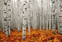 Birch Trees / Need help identifying a tree? Dreaming of your dream garden or landscaping project? Or do you simply love the striking, iconic look of birch trees? We've got you covered.