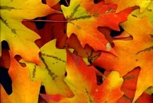 Maple Trees / Need help identifying a tree? Dreaming of your dream garden or landscaping project? Or do you just like browsing through the vivid autumn beauties that are maple trees? We've got you covered.