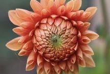 In Bloom 8/3/14 / flowers blooming the week of 8/3/14 / by Laughing Lady Flower Farm