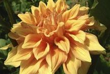 In bloom 8/24/14 / What's blooming at Lilies and Lavender this week / by Laughing Lady Flower Farm