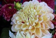 in bloom 8/31/14 / what's blooming at Lilies and Lavender the week of 8/31/14 / by Laughing Lady Flower Farm