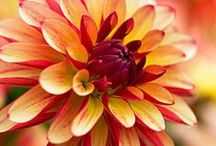 In bloom 10/5/14 / What's blooming at Lilies and Lavender this week, October 5, 2014 / by Laughing Lady Flower Farm