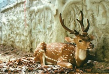 Antlers/Deer/Elk