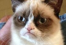 Grumpy Cat  >.<