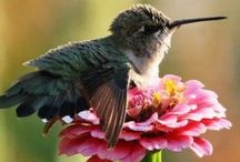 Hummingbirds / Hummingbirds come in a rainbow of brilliant colors. These feisty little birds deserve recognition for all their hard work pollinating nature's flora.  / by Animal Muse: Cathy Currea
