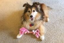Shetland Sheepdog: Cassie / Photos of a dynamic little gal who allowed me to adopt her...or there would be if I ever figure out how to pin something. :-)