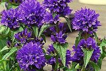 Garden- Perennials I have