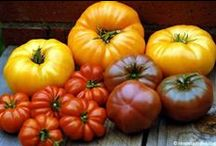 Vegetables - Everything Tomatoes / Growing and Tending Tomatoes / by Mike Marsee