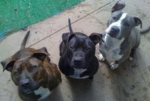 """Pittie Party / Need a """"Pittie Party"""" every once in awhile...makes me SMILE ( : / by Tommie Zuñiga"""