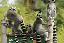 I love Lemurs! / by Anne-Marie Bezzina