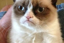 Grumpy Cat! / My new favorite cat! This board is full, now pinning on Grumpy Cat 2. / by Anne-Marie Bezzina