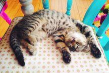 Bob El Tigre / My beautiful Scottish fold kitten. All photos taken by me. If you wasn't to share please credit me it Bob's Instagram account. http://instagram.com/bob_eltigre