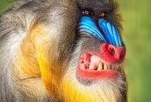 Just Mandrills / Natural Art - just so natural, just so art. / by bell the cat
