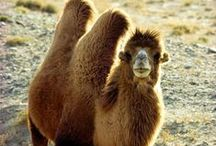 Just Bactrian Camels / Winner - best  land animal silhouette award! / by bell the cat