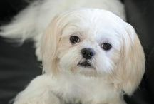 Shih Tzus (are my favorite dog) / My very very very favorite little dog. / by bell the cat