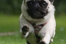 Furry Friends & Especially a lot of Pugs