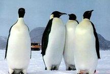 A / PINGUINS / Os primeiros europeus que viram pinguins, pensaram que estes eram peixes com pernas. Na realidade, são aves marinhas muito especializadas, cujas asas não servem para voar, mas sim para nadar. Habitam as zonas polares, formando colónias. Comem peixe e os seus olhos estão adaptados para ver debaixo da água salgada. As penas e a gordura sub-cutânea ptotegem-no da água, do frio e do vento.