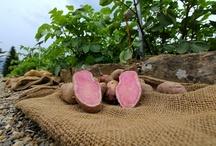 URBAN POTATO / Urban Potato gennem en urban haveinstallation præsenteres muligheden for at dyrke egne fødevarer (incl. kartofler) i byen, også kaldet urban farming, hvor også begrænset plads på altaner og terrasser kan bruges.   http://www.facebook.com/events/120649051417735/
