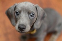 Dachshund Love / Generally opposed to cute animal photo boards, but I succumbed to the adorableness of doxies! / by Antonia Scatton
