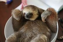 Sloths & comp. / Sloths!!! And otters, pangolins, anteaters...