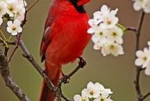 Cardinal Collection / Love that Red bird