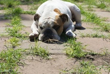 Love bulldogs !!! / by Janet Valencia