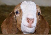 Goats / by Monica Quast