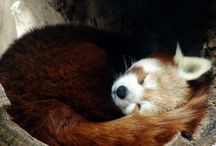 Animals: Red Pandas / Aka Fire Fox!  Love these little guys