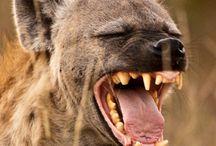 Animals: Hyena