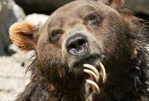 Animals: Bears / There are eight main types of bears that branch out into other types. there is Black bear, brown bear, polar bear, panda, sloth bear, spectacled bear, sun bear, and Asiatic black bear.