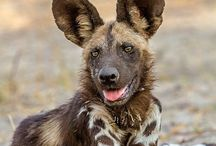 Animals: African Wild Dog / This board is dedicated to the African Wild Dog.