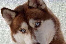 Animals: Dogs - Huskies / Huskies just aren't for everyone!