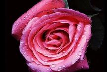 Beautifully Rosey