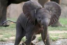 1Elephants / All things ELEPHANT related.