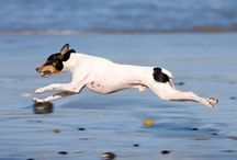 Rat Terriers...The Best! / by Sherry Richardson