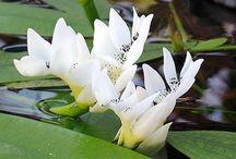 Aquatic and Bog Plants