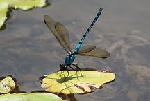 Entrancing Odonata / Dragonflies and Damselflies of the world / by Judy Radovsky