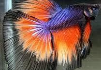 Still in Betta / Siamese Fighting Fish (Bettas)