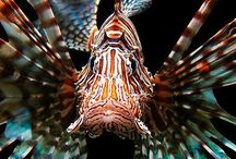 Lion fish (Pterois volitans) / Lion fish, also called Zebrafish, Turkeyfish and Scorpionfish, are related to Stonefish, and share the Stonefish'e venomous spines. They make excellent aquarium mates.