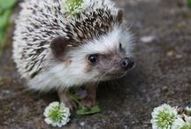 Hedgehogs! / OMG they're hedgehogs. You need more than that?