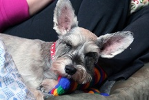 Schnauzer Power / Our furry child, Riesling. / by Leandra Ganko