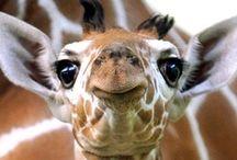 Giraffes / by Nicole