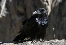 raven / by Sybille Anna