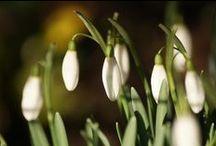 SnowDrops - Vintergækker - Galanthus