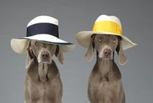 William Wegman for Acne Studios / A collaboration for Spring/Summer 2013 between the Artist William Wegman and Acne Studios, featuring Wegman's famous Weimaraner dogs wearing clothing from the SS13 Acne Studios Collection