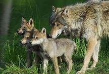 Foxes, coyotes and wolves / by Kim