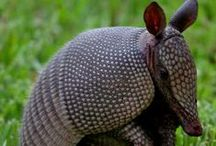 All God's Creatures ... Armadillos and Bats, a Texas Staple / by Jean Heavrin